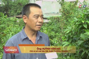 Vườn mai Sáu Hải bản tin HTV
