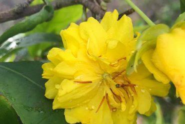 hoa mai 12 cánh