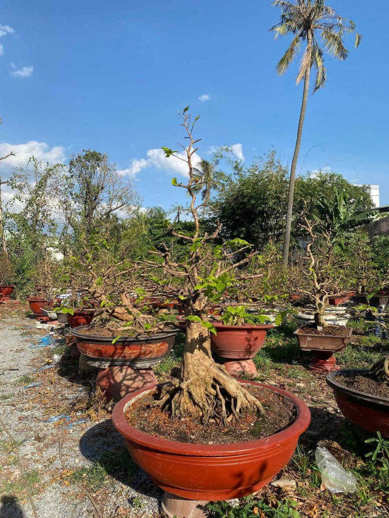 cắt tỉa mai bonsai sau tết